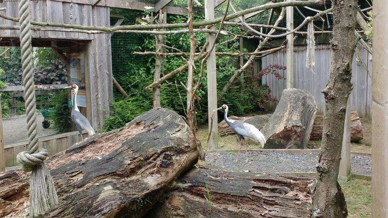De twee witnekkraanvogels, Kuniyuki en Vipio, werden deze week uit quarantaine gehaald in De Zonnegloed.