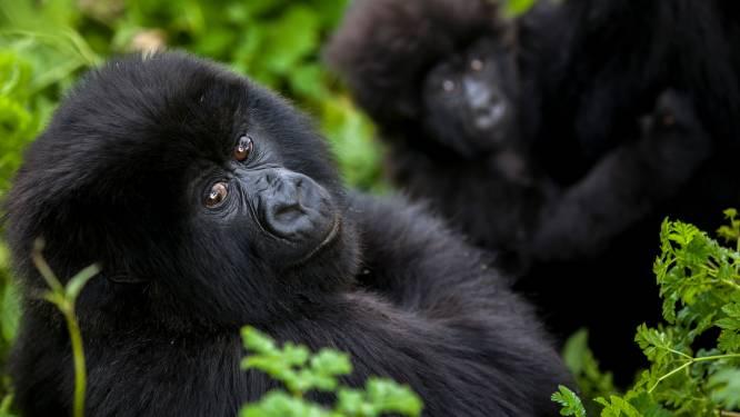 Reddit-groep achter Gamestop-rage gebruikt enorme winsten om gorilla's te redden