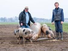 Bedreigde Bonte Bentheimer maakt comeback bij Gert en Roel in Collendoorn, als knuffeldier én karbonaadje