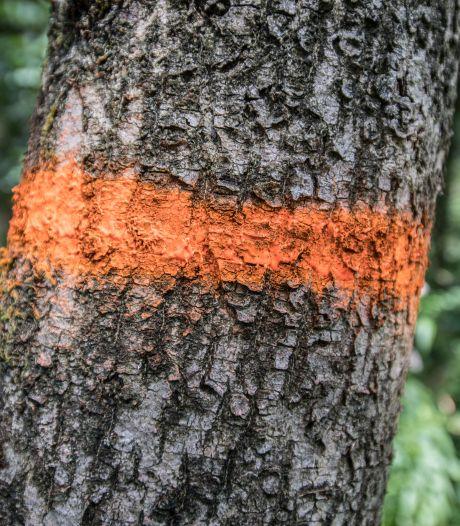 Zieke bomen gaan om: ze leveren gevaar op voor verkeer op Verkavelingsweg in Hasselt
