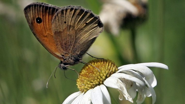 Het aantal vlinders in de maand september nam vors toe. De Vlinderstichting spreekt van een unicum. Beeld anp
