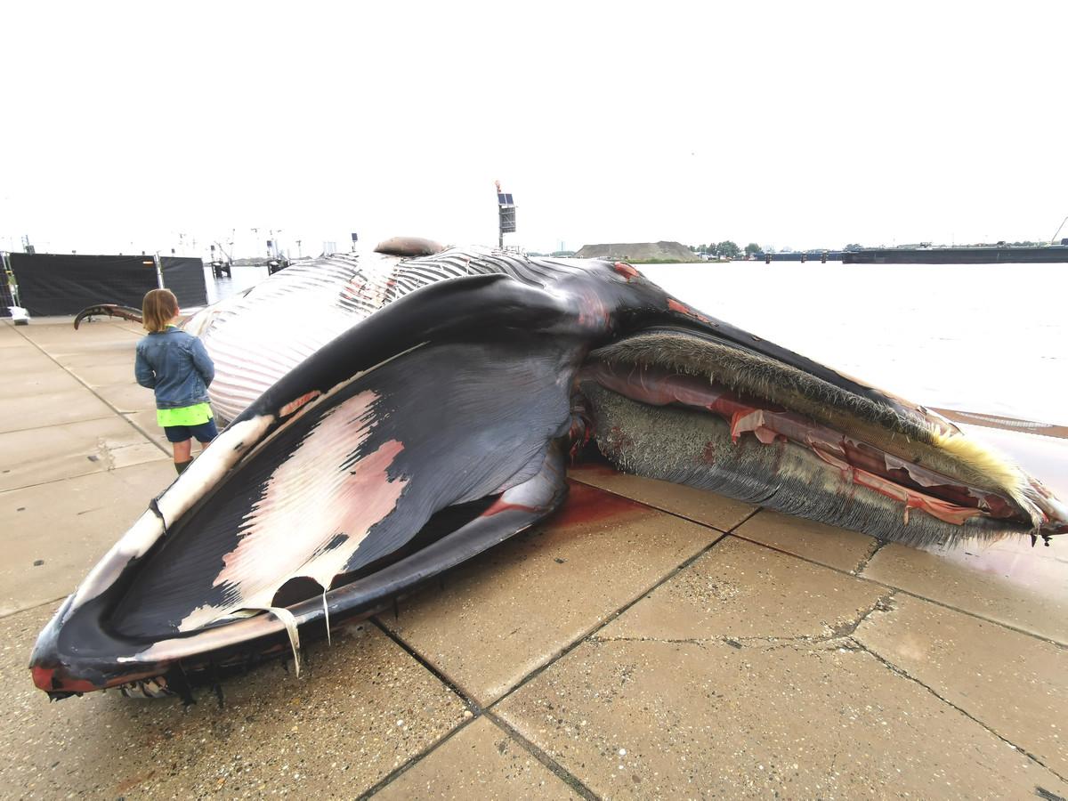De dode walvis trekt direct al wat bekijks.