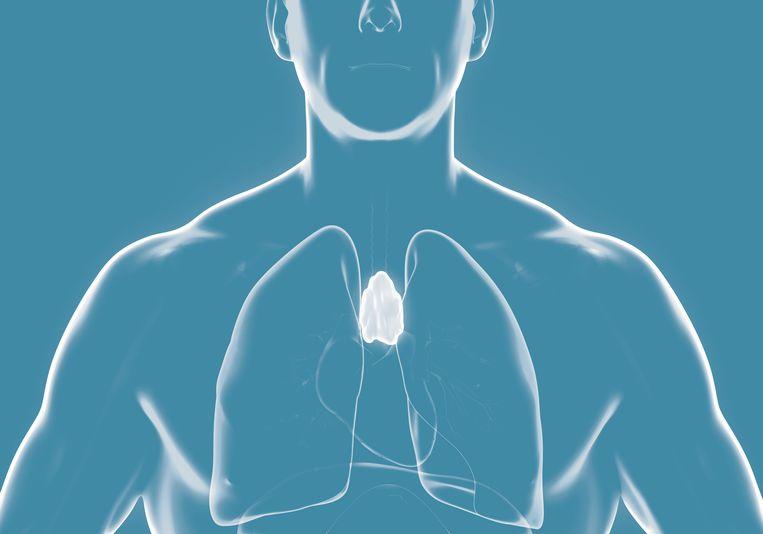 Thymus, een orgaan in de borst, is noodzakelijk voor de ontwikkeling van ons immuunsysteem.  Beeld shutterstock
