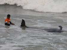 Près de 120 dauphins-pilotes échoués sur une plage ont été sauvés au Sri Lanka