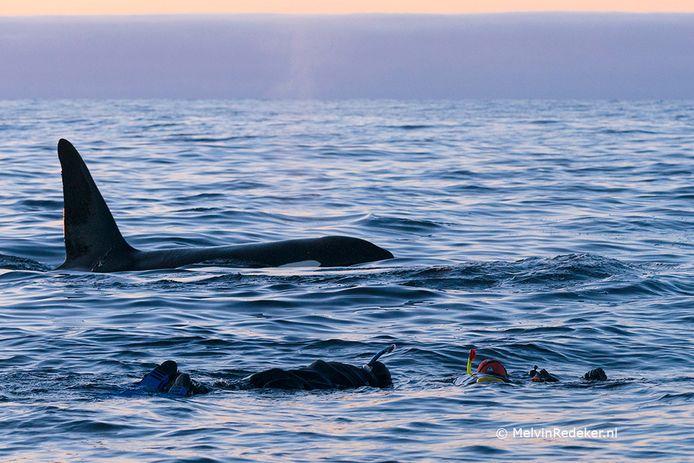 Melvin Redeker ligt oog in oog met orka's. Foto Fiona van Doorn