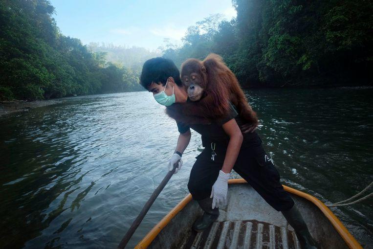Dierenarts Pandu draagt de 8-jarige Diana over de rivier. De orang-oetan verbleef lang in het opvangcentrum en kan niet goed wennen aan het leven in de wildernis. De vorige keer had ze malaria en kreeg ze een bloedtransfusie. Beeld © Alain Schroeder