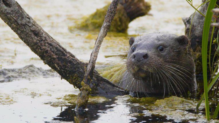 Sinds 2012 duikt de otter sporadisch weer op op verschillende plaatsen in Vlaanderen. Beeld EO