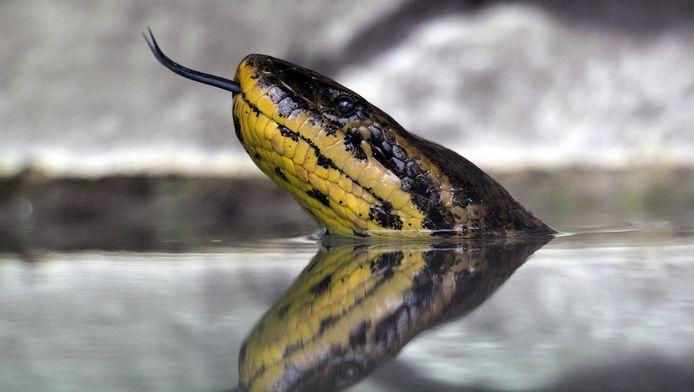 Een anaconda