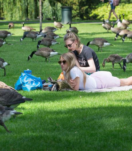 Ganzenplaag teistert Bredase bevolking, veel overlast van ganzenpoep in parken en bij meren