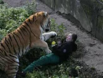 Siberische tijger valt verzorgster aan