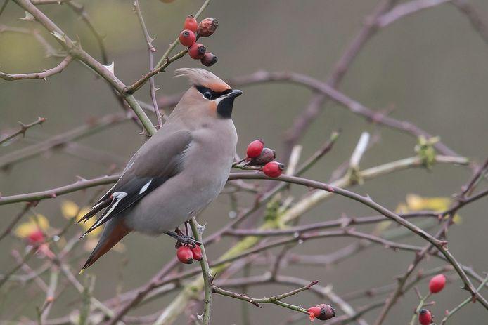 Een vrij moeilijke vogel om te spotten: de pestvogel.