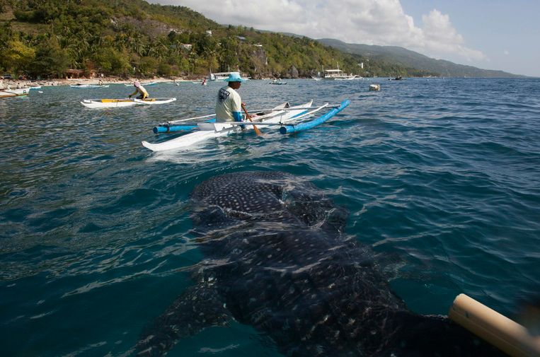 A juvenile whale shark approaches a feeder on a paddleboat off the beach of Tan-awan, in Oslob, in the southern Philippines island of Cebu February 28, 2013. Tan-awan, in the southern Philippines island of Cebu, used to be a sleepy village that never saw tourists unless they were lost or in transit. Yet now they flock there by the hundreds - to swim with whale sharks, the world's largest fish. Whale sharks are lured to the Tan-awan coastline of the Oslob district by fishermen who hand feed them small shrimp, drawing divers and snorkelers to see the highly sought-after animals, known as gentle giants of the sea. But the practice has sparked fierce debate on the internet and among biologists, who decry it as unnatural. Picture taken February 28, 2013. REUTERS/David Loh (PHILIPPINES  - Tags: SOCIETY ANIMALS ENVIRONMENT)  ATTENTION EDITORS: PICTURE 8 OF 25 FOR PACKAGE 'THE WHALE SHARK FEEDERS' SEARCH 'WHALE LOH' FOR ALL IMAGES Beeld REUTERS