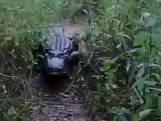 Visser heeft beet: alligator springt uit het water en zet achtervolging in