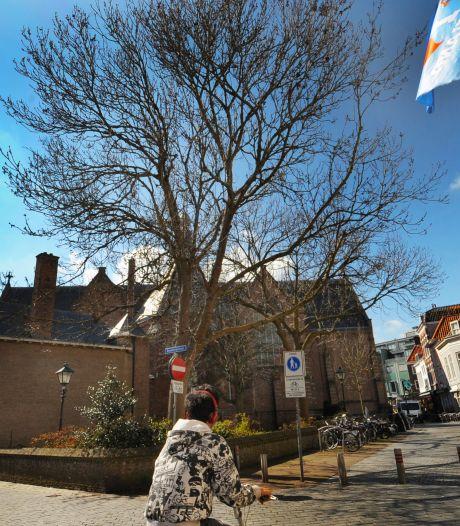 Bomen in kerktuin Sint Jacobs aan één kant gekortwiekt, aan de andere kant getooid met coronakroon