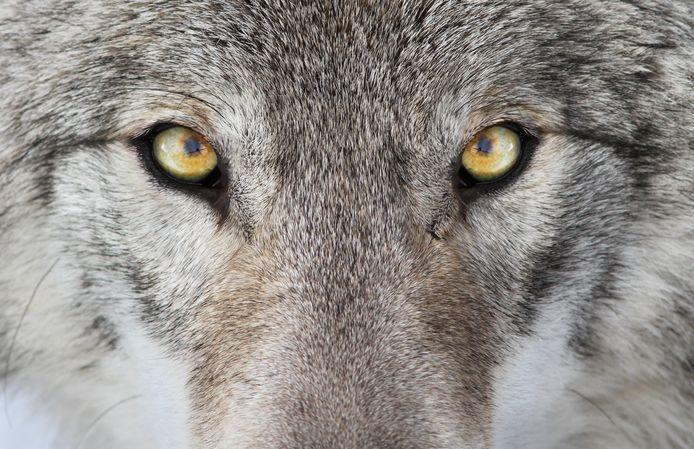 Er zullen meer wolven naar Zeeland komen.