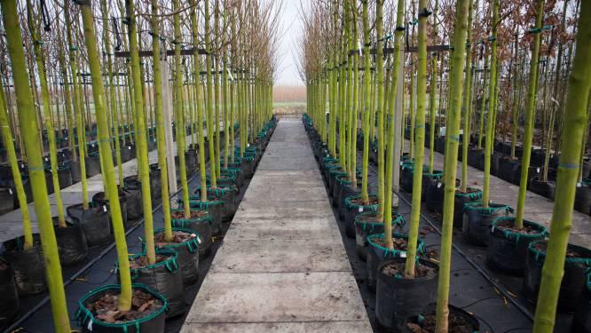 Buren ziet nu toch meer ruimte voor pottenteelt bij laanboomtelers