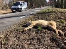Doodgereden wolvin op N224 was twee jaar en had flinke longontsteking