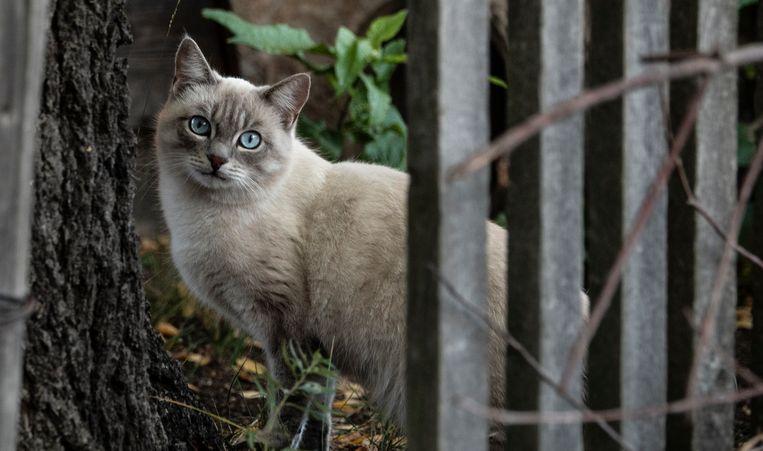 Tussen de onderschepte smokkelpoezen voor de kust van Taiwan zat ook een Blauwe Rus kat.  Beeld Hollandse Hoogte / Egbert Hartman