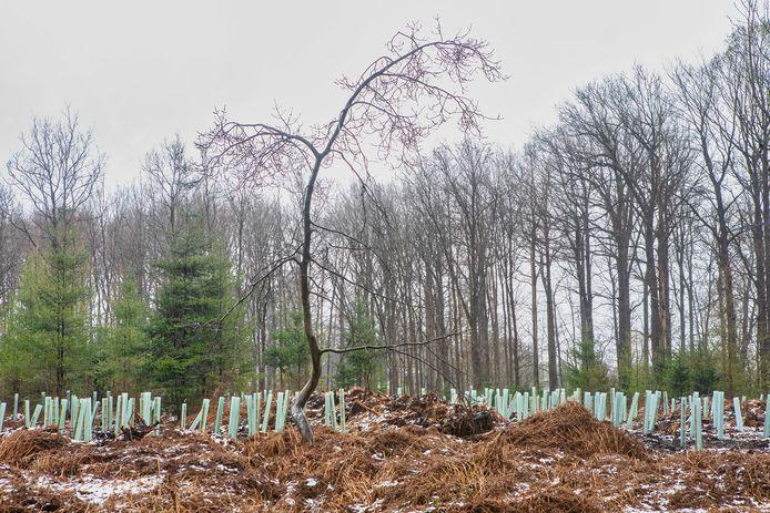 BREDA -  In het noordoostelijke deel van het Liesbos bij Breda zijn 450 jonge bomen aangeplant. De enkele oude boom die op hetzelfde stuk is blijven staan, steekt er schril bij af.