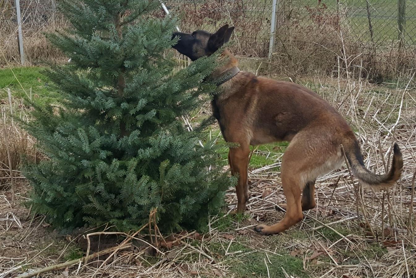 Baas Patrick Jacobsen verstopte het bot voor Bouke in een boom, maar de politiehond in opleiding vond de traktatie vrijwel meteen.