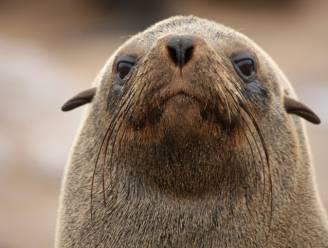 Hongerige zeeleeuw eet vijf haaien op