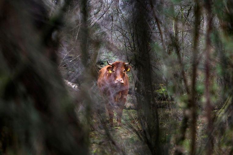 Koe Hermien in het bos waarin ze zich schuilhield.