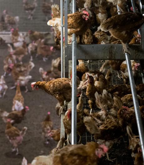 Oproep Markelose politicus om kippen binnen te houden 'niet haalbaar'