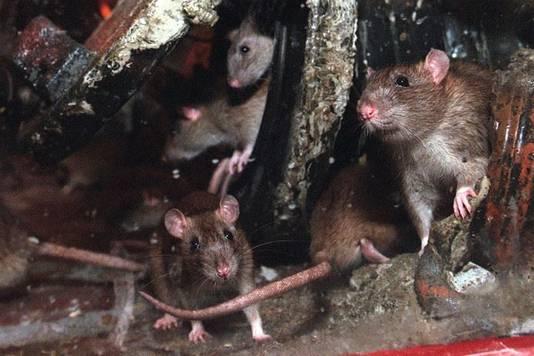 Ratten, stockphoto