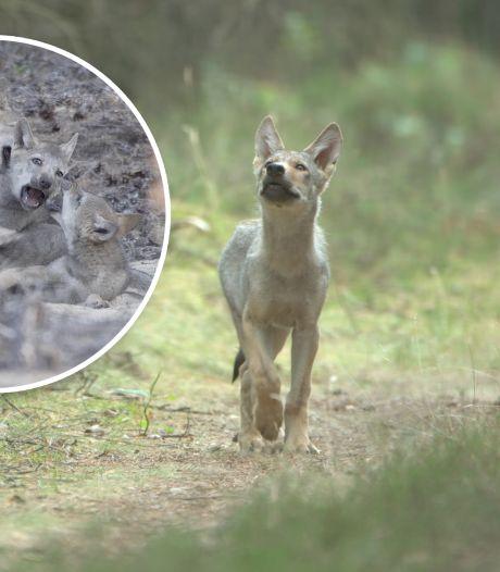 Filmmaker stond oog in oog met wolven op de Veluwe en maakte unieke beelden: 'Ik hield mijn adem in'