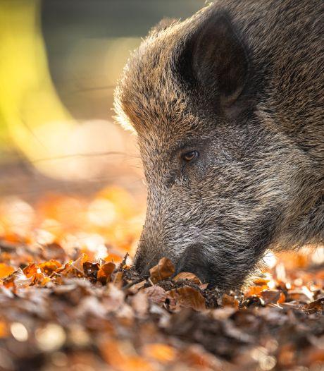 Limburg krijgt afschotvrij gebied, maar doden wild zwijn mag wel