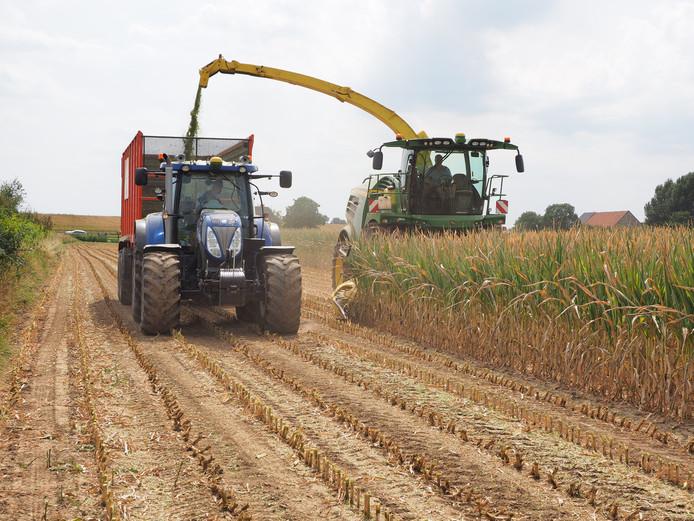 Op een kurkdroge akker in Aerdt heeft loonbedrijf Sloot woensdag de mais er af gehaald. De gehakselde mais wordt in een meerijdende silagewagen geblazen.