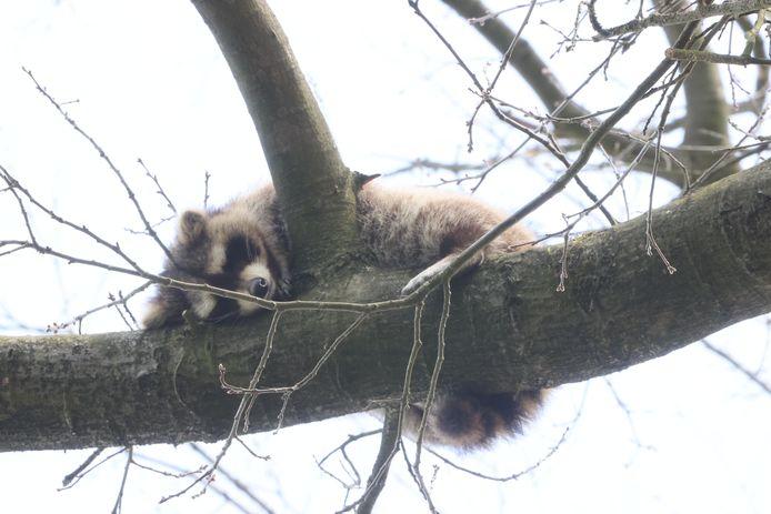 De wasbeer die werd aangetroffen in een boom in Vught en daar zoveel bekijks trok dat mensen op afstand moesten worden gehouden.