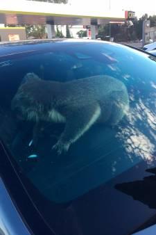 Overstekende koala zorgt voor ravage op Australische snelweg