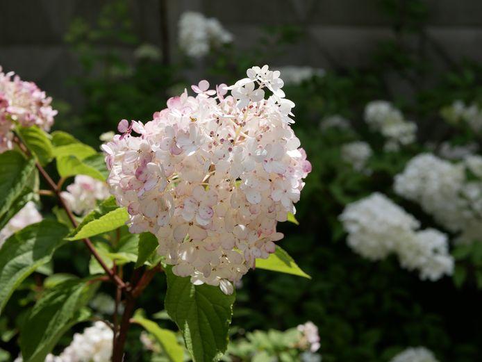 "Romke Hydrangea paniculata Siebold ""Pink Diamond"". Pink hydrangea flowers in the garden on a Sunny summer day."