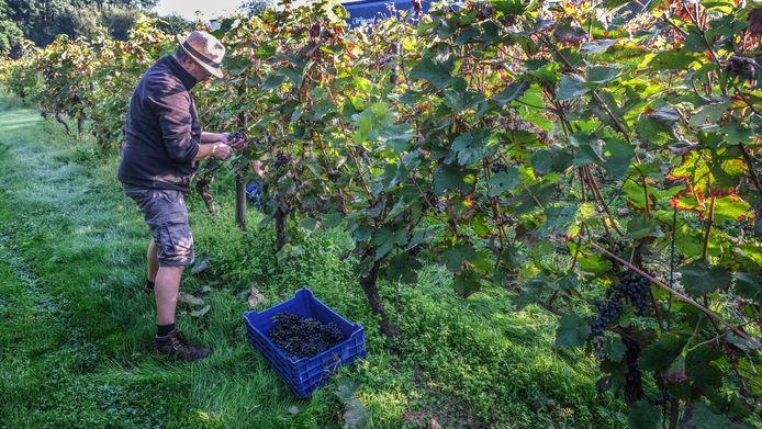 De druivenpluk op domein Monteberg is begonnen.