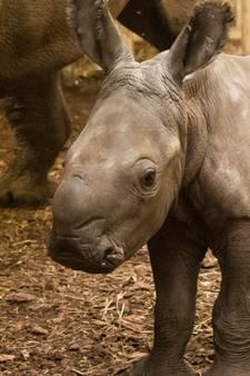 Neushoornjong Burgers' Zoo zet eerste stappen buiten: Ren Wiesje ren