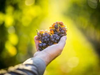 GEZOCHT: Wijnbouwer die 'belevingsvolle' wijngaard wil beginnen vlakbij Alden Biesen