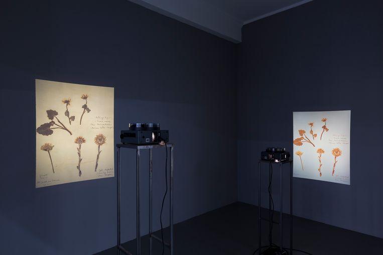 Werk van Milena Bonilla, geïnspireerd door het herbarium van Rosa Luxemburg, in de tentoonstelling Is it possible to be a revolutionary and like flowers?  in Nest, Den Haag.  Beeld Charlotte Markus