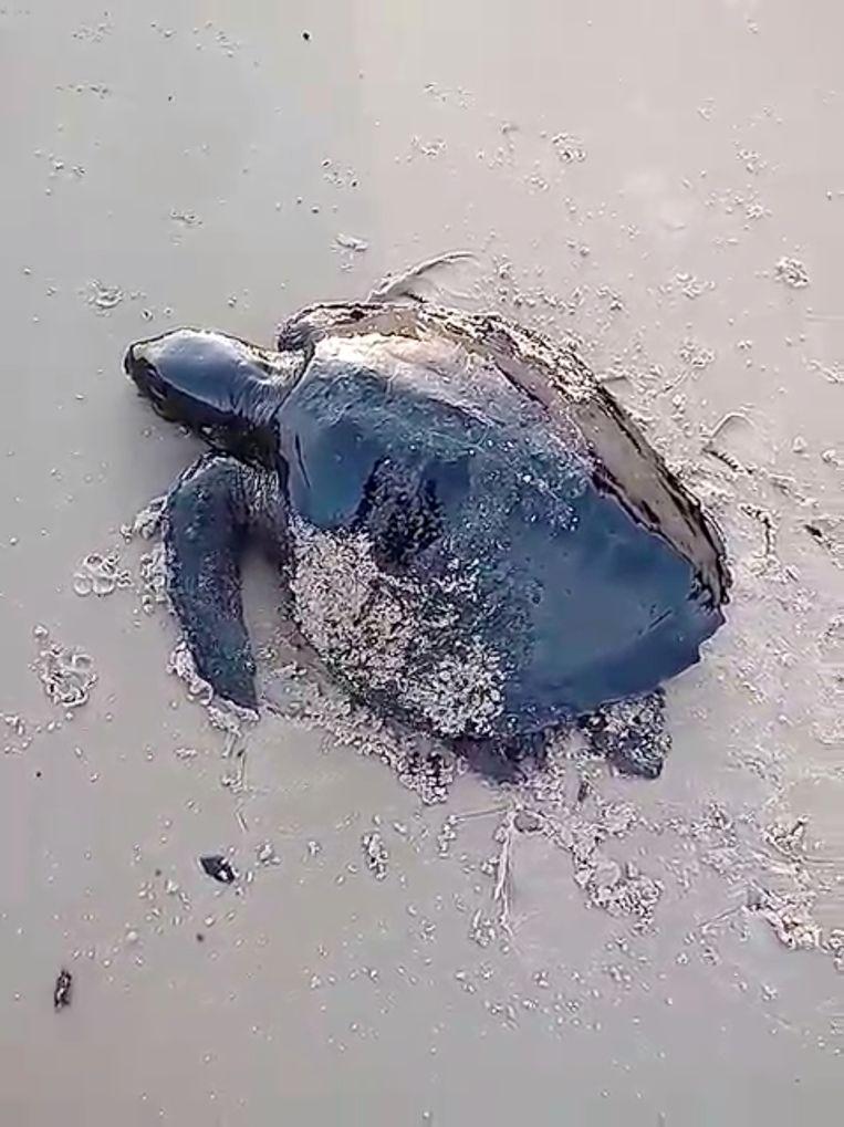Een met olie besmeurde schildpad kruipt het Itatinga-strand op in Alcantara in de Braziliaanse staat Maranhao.
