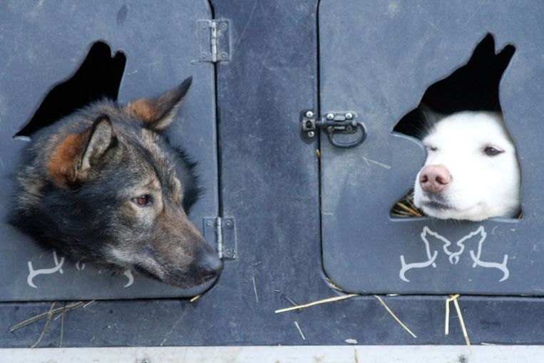 FILE - In this March 7, 2015, file photo, two dogs peek out from look out holes on the truck of musher Justin Savidis of Willow, Alaska, before the ceremonial run of the Iditarod Trail Sled Dog Race in Anchorage, Alaska. The 46th running of Alaska's famed Iditarod Trail Sled Dog Race kicks off Saturday, March 3, 2018, amid the most turbulent year for organizers beset by multiple problems, including a champion's dog doping scandal, the loss of major sponsors, discontent among race participants and escalating pressure from animal rights activists, who say the dogs are run to death or left with serious injuries. (AP Photo/Mark Thiessen, File) Beeld AP