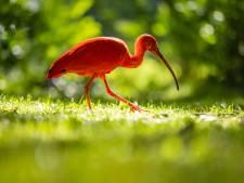 Wie redt de verdwaalde rode ibis van een fatale Hollandse winter?