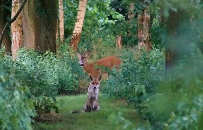 De unieke beelden zijn vastgelegd door Yolanda Van Dromme, ergens in Brasschaat. Een vos en een ree samen op één foto.