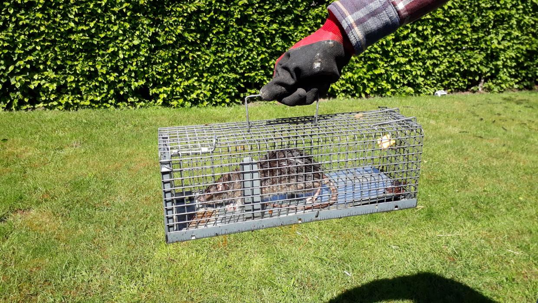 Mechanische vallen worden vaak ingezet om ratten te vangen.