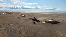 Toeristen doen lugubere ontdekking in IJsland: tientallen dode walvissen op afgelegen strand