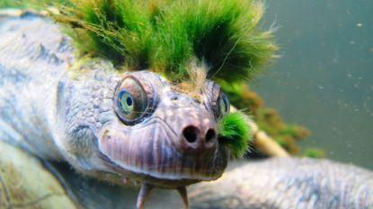Punkschildpad die door genitaliën ademt met uitsterven bedreigd