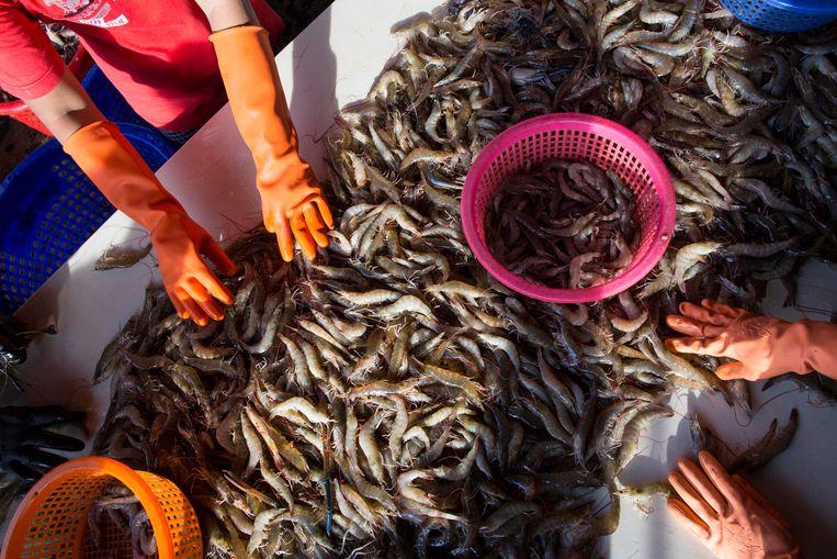 Vrouwelijke arbeiders sorteren garnalen in Thailand. Als die garnalen in de Nederlandse supermarkt belanden, moeten de Nederlandse ketens helpen om misstanden zoals onderbetaling te voorkomen.  Beeld AP