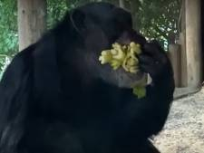 Leuke beelden uit DierenPark Amersfoort: chimpansee Kumi is gek op selderij
