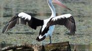 Australische pelikaan gespot in Het Vinne