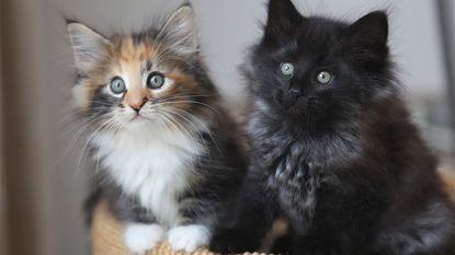 Jonge dierenbeulen gebruiken katjes als voetbal: één diertje gestorven