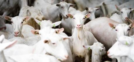 Geitenhouder had eerder bij de gemeente Uden aan de bel moeten trekken, nu moeten geiten weg